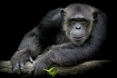 Cute Chimpanzee smile and catch big branch and look straight to. Front of him on black background stock image