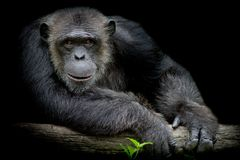 Cute Chimpanzee smile and catch big branch and look straight to. Front of him on black background royalty free stock photography