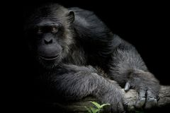 Cute Chimpanzee smile and catch big branch and look straight to. Front of him on black background royalty free stock photos
