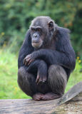 Cute chimpanzee. A cute chimpanzee on some wood stock photography