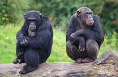 Cute chimpanzees Stock Image