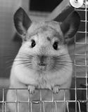 Cute Chinchila. A cute chinchilla at the door of his cage Stock Image