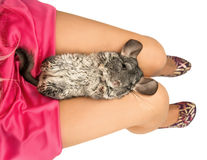 Cute chinchilla Royalty Free Stock Photography