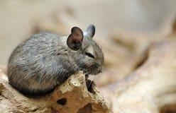 Cute chinchilla. On a tree (Chinchilla lanigera Royalty Free Stock Images