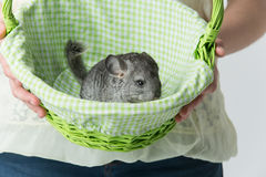 Cute chinchilla in basket Royalty Free Stock Photos