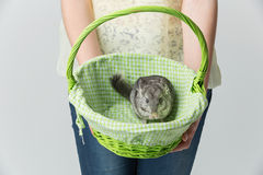 Cute chinchilla in basket Royalty Free Stock Photo