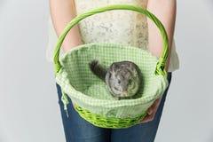 Cute chinchilla in basket Royalty Free Stock Photo