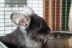 Cute chinchilla of brown velvet color is sitting in its house near to bowl with food, side view. stock images