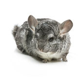 Cute chinchilla isolated over white background Stock Photos