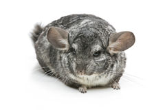 Cute chinchilla isolated over white background Royalty Free Stock Photo
