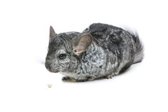 Cute chinchilla isolated over white background Stock Photo