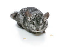 Cute chinchilla isolated over white background Stock Photography