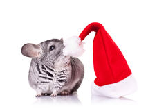 Cute chinchilla near a santa hat Stock Photo