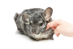 Cute chinchilla  over white background Stock Photos
