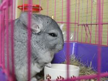 Cute chinchilla rodentshiny eyes sitting cage. Young adorable grey chinchilla portrait  sitting inside cage Stock Photography