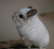 Cute Chinchilla Stock Image