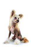 Cute chinese crested dog portrait Stock Photo