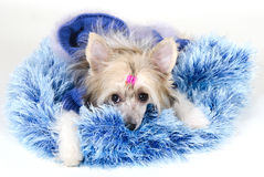 Cute Chinese Crested dog Stock Images