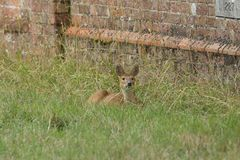 A cute Chinese Water Deer Hydropotes inermis lying down resting in the long grass. Royalty Free Stock Images