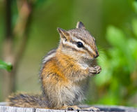 Cute Chipmunk Royalty Free Stock Image