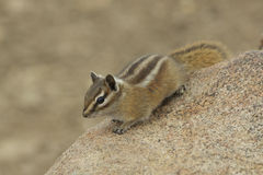 Cute Chipmunk Stock Photos