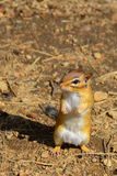 Cute chipmunk begging  Royalty Free Stock Photos
