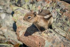 Cute chipmunk in canadian rockies. Wildlife of Canadian mountains, curious animals, squirell in Canada stock photo