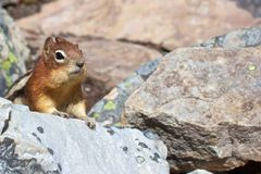 Cute chipmunk and copy space Stock Image