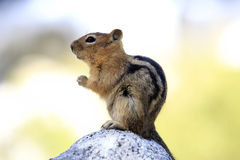 Cute Chipmunk royalty free stock photography