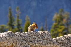 Cute chipmunk eating on a rock in front of a forest in Yosemite. National Park, USA Royalty Free Stock Images