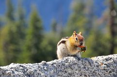 Cute chipmunk eating on a rock. In front of a forest in Yosemite National Park, USA, close-up view Stock Image