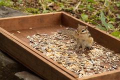 Cute chipmunk Royalty Free Stock Photos