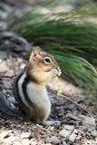 Cute chipmunk Stock Photography