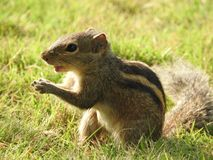 Cute Chipmunk on green grass in Sri Lanka stock photos