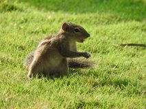 Cute Chipmunk on green grass in Sri Lanka stock image