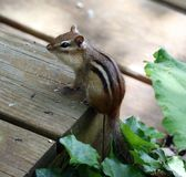 Cute chipmunk little squirrel looking for food. In Michigan summer stock images