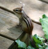 Cute chipmunk little squirrel looking for food. In Michigan summer royalty free stock photography