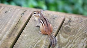 Cute chipmunk little squirrel looking for food. In Michigan summer royalty free stock photo