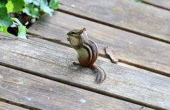 Cute chipmunk little squirrel looking for food. In Michigan summer stock photo