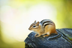 Cute chipmunk on log royalty free stock images
