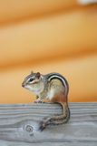 Cute Chipmunk, profile Royalty Free Stock Photo