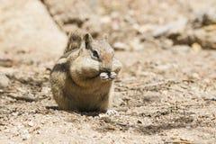 Cute chipmunk Royalty Free Stock Image