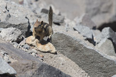 Cute chipmunk on rocks in bright sun Royalty Free Stock Images