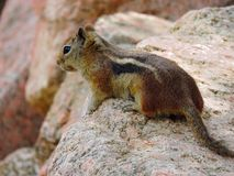 A Cute Chipmunk Royalty Free Stock Images