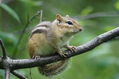 Cute chipmunk, tiny feet. Royalty Free Stock Image