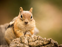 Cute Chipmunk well fed on nuts and seeds Stock Photo