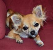 Cute Chiwawa. A really cute Chiwawa dog cocking its head royalty free stock images