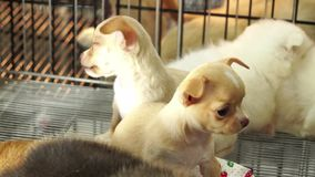 Cute chiwawa pups inside a cage on display for sale Royalty Free Stock Image