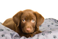 Cute chocolate brown labrador puppy dog on a grey pillow. Cute chocolate Labrador puppy lying on a grey pillow with paw print Royalty Free Stock Photos