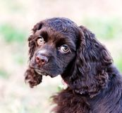 A closeup of a chocolate cocker spaniel puppy. royalty free stock photography